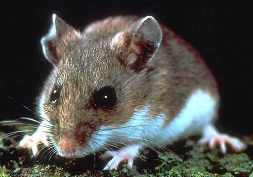 Deer Mice and the Hantavirus